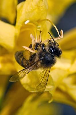 Honeybee Feeding Art Print