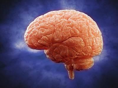 Human Brain Photograph - Human Brain by Andrzej Wojcicki
