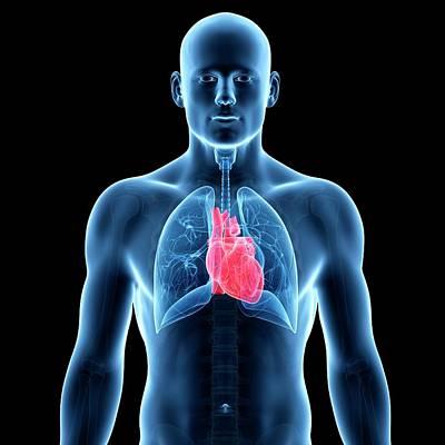 Internal Organs Photograph - Human Heart by Sebastian Kaulitzki