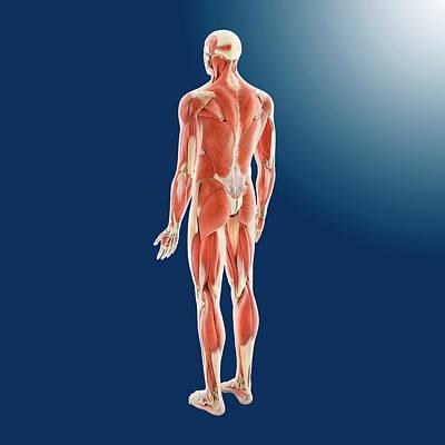 Human Musculature Art Print by Springer Medizin
