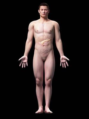 Internal Organs Photograph - Human Pancreas by Sebastian Kaulitzki