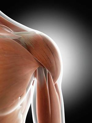 Human Shoulder Muscles Art Print