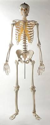 Human Skeleton Art Print by Dorling Kindersley/uig