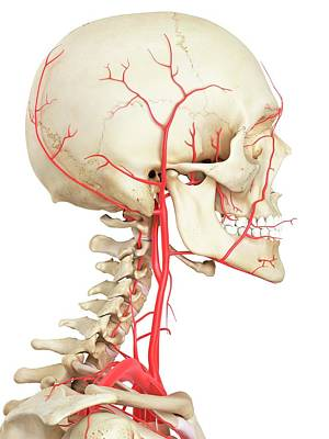 Biomedical Illustration Photograph - Human Vascular System by Sciepro