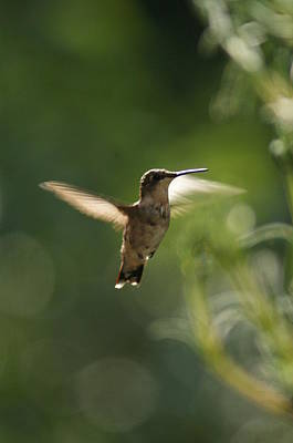 Photograph - Hummer by Heidi Poulin