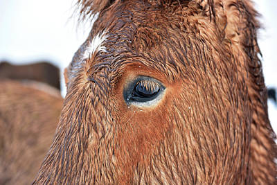 Horse Eye Photograph - Icelandic Horse by Dr P. Marazzi