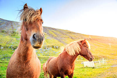 Photograph - Icelandic Ponies by Alexey Stiop