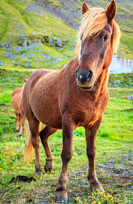 Photograph - Icelandic Pony by Alexey Stiop