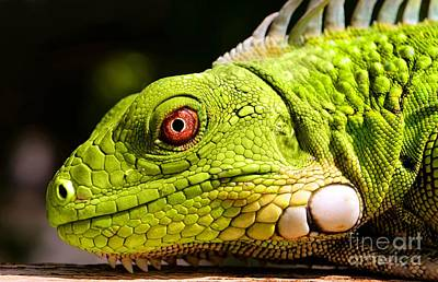 Photograph - Iguana by Isabelle Kuehn