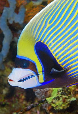 Angelfish Photograph - Indian Ocean, Indonesia, Komodo by Jaynes Gallery