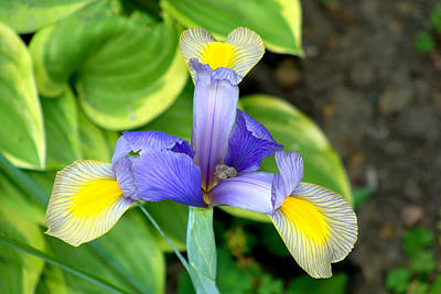 Photograph - Iris by Anthony Seeker