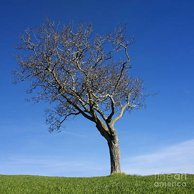 Bare Trees Photograph - Isolated Tree by Bernard Jaubert