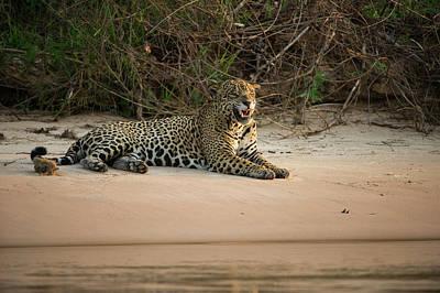 Mato Photograph - Jaguar (panthera Onca by Pete Oxford