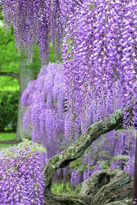 Floribunda Photograph - Japanese Wisteria, Longwood Gardens by Lisa S. Engelbrecht