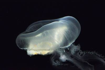 Photograph - Jelly Fish  by Puzzles Shum
