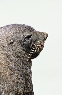 Fur Seal Photograph - Kerguelen Fur Seal, Antarctic Fur Seal by Martin Zwick