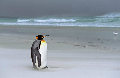 King Penguin (aptenodytes Patagonica Art Print by Martin Zwick