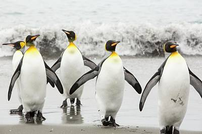 King Penguins Emerge From A Fishing Trip Print by Ashley Cooper