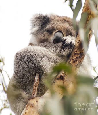 Koala Photograph - Koala by Tim Hester