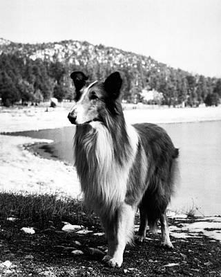 Photograph - Lassie by Retro Images Archive