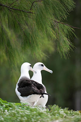 Bonding Photograph - Laysan Albatross (phoebastria by Daisy Gilardini