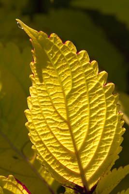 Photograph - Leaf Veins by Byron Jorjorian