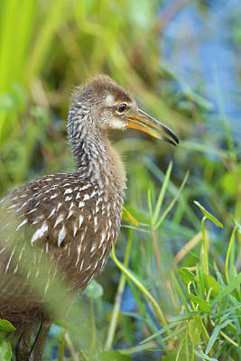 Baby Bird Photograph - Limpkin Chick, Aramus Guarana, Viera by Maresa Pryor