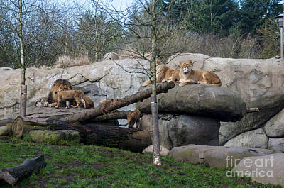 Portland Photograph - Lion Family by Mandy Judson