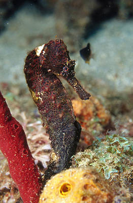 Seahorse Photograph - Longsnout Seahorse by Andrew J. Martinez