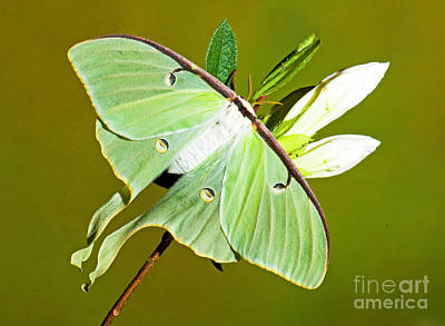Luna Photograph - Luna Moth by Millard H. Sharp