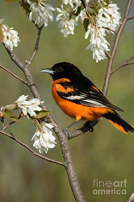 Oriole Photograph - Male Baltimore Oriole by Linda Freshwaters Arndt