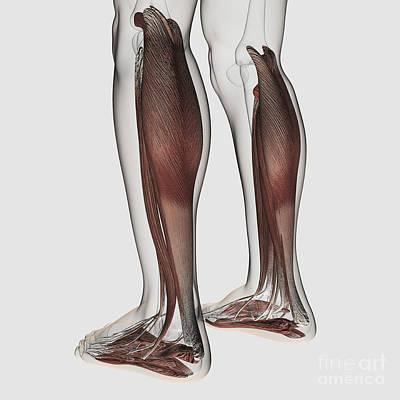 Tendon Digital Art - Male Muscle Anatomy Of The Human Legs by Stocktrek Images