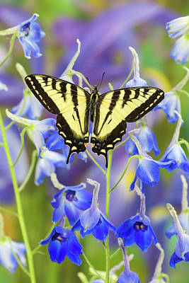 Tiger Swallowtail Photograph - Male Western Tiger Swallowtail by Darrell Gulin