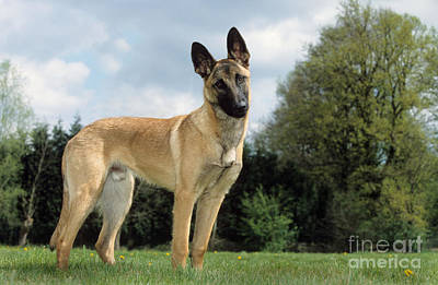 Belgian Malinois Photograph - Malinois, Belgian Shepherd Dog by Johan De Meester