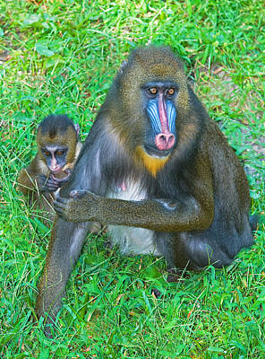 Photograph - Mandrill Mother And Baby by Millard H. Sharp