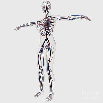 Medical Illustration Of Female Print by Stocktrek Images