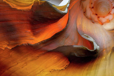 Aperture Photograph - Melo Amphora by Natural History Museum, London