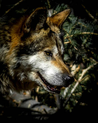 Canine Digital Art - Mexican Grey Wolf by Ernie Echols