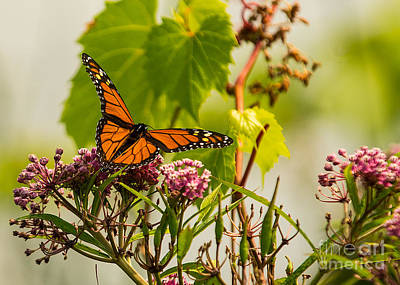Photograph - Monarch Butterfly by Brad Marzolf Photography