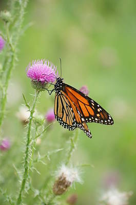 Photograph - Monarch Butterfly by Heidi Poulin