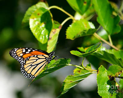 Photograph - Monarch Butterfly by Mark Dodd