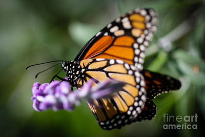 Outerspace Patenets Rights Managed Images - Monarch Danaus Plexippus Royalty-Free Image by Henrik Lehnerer