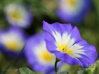Photograph - Morning Glory Named Blue Ensign by J McCombie