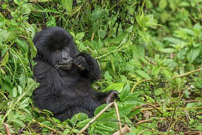 Mountain Gorilla, Gorilla Beringei Art Print