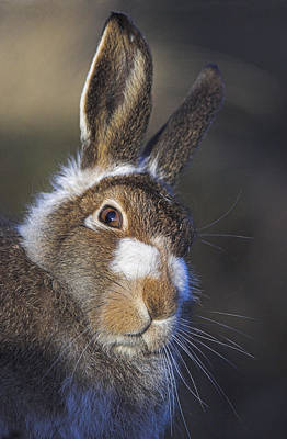 Photograph - Mountain Hare by Duncan Shaw