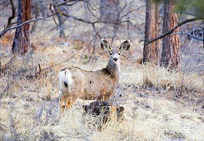 Steven Krull Royalty-Free and Rights-Managed Images - Mule Deer by Steven Krull