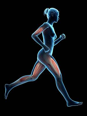Jogger Wall Art - Photograph - Muscular System Of A Runner by Sebastian Kaulitzki
