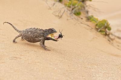 Animal Behaviour Wall Art - Photograph - Namaqua Chameleon Catching Prey by Tony Camacho