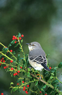Mockingbird Photograph - Northern Mockingbird (mimus Polyglottos by Richard and Susan Day