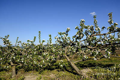 Orchard  Blooming Apple Trees. Art Print by Bernard Jaubert
